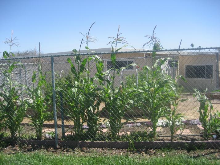Corny days