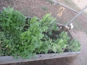 cat nip plant 2013
